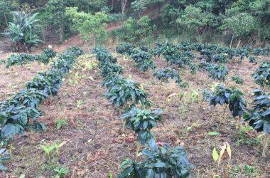 Santa Fé Panama - Ventura Verde Coffee Estate