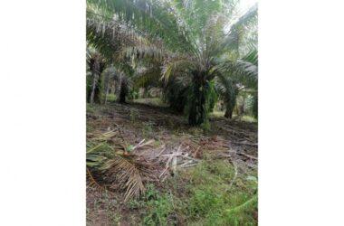 Chiriqui Panama - For sale oil palm farm in Alanje, Chiriquí
